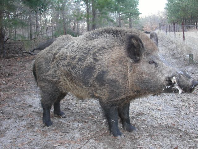 Image result for pictures of russian boar